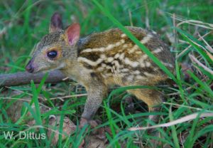WD Mouse Deer Baby Credited