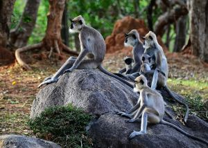 Langur-monkeys