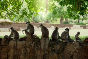 Monkeys-in-anuradhapura-sri-lanka-1600x1066