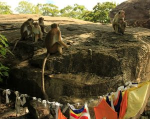Sri-lanka-monkeys-photo