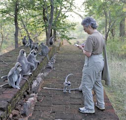 Photo: David Barron Volunteer monitoring Hanuman langurs