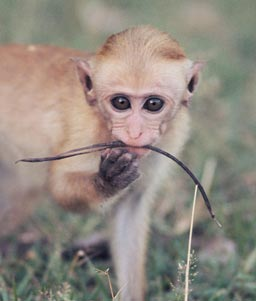 Photo: Wolfgang Dittus Adopt a baby macaque