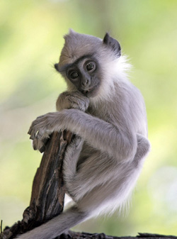 Photo: David Barron Care for an orphaned Hanuman langur baby