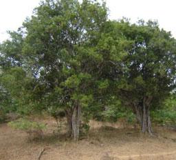 Weera Tree