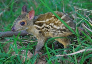 WD mouse deer baby RZ 13May2012 (14)